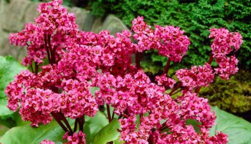Красные цветки бадана