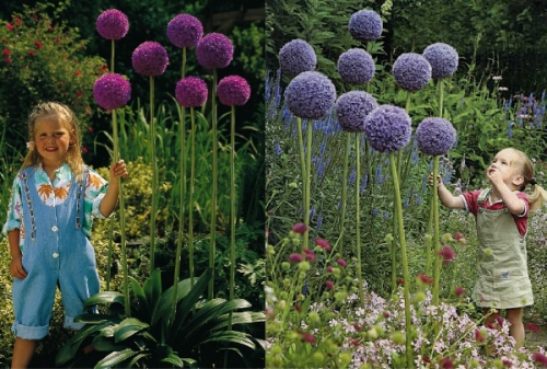Высокие цветы аллиума