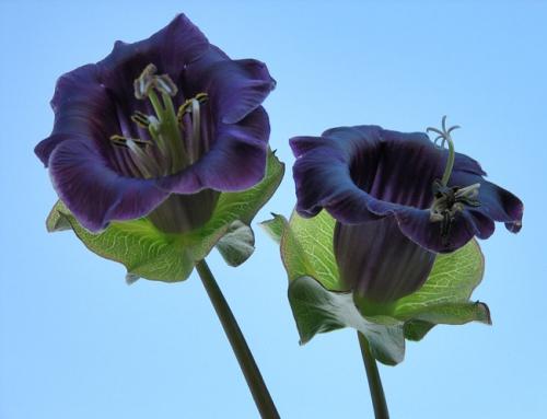 Темно-фиолетовая кобея в открытом грунте