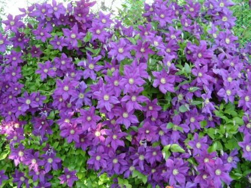 Цветы клематиса в грунте