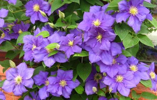 Фиолетовый клематис на грядке