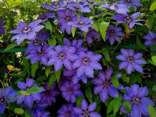 Цветы клематиса фиолетового цвета