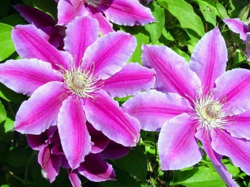 Розовые цветы клематиса, выращенные в открытом грунте