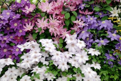 Цветы клематиса, выращенные в открытом грунте