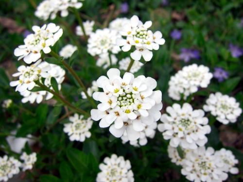Красивые цветки ибериса