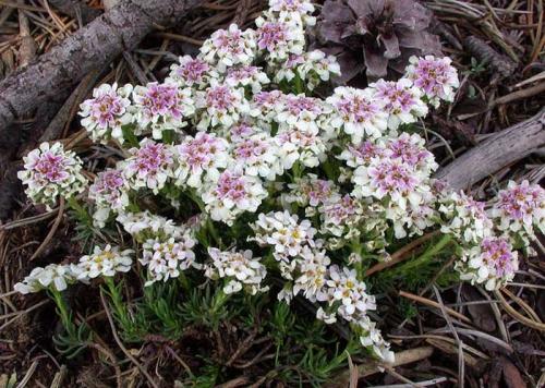 Соцветия ибериса в открытом грунте