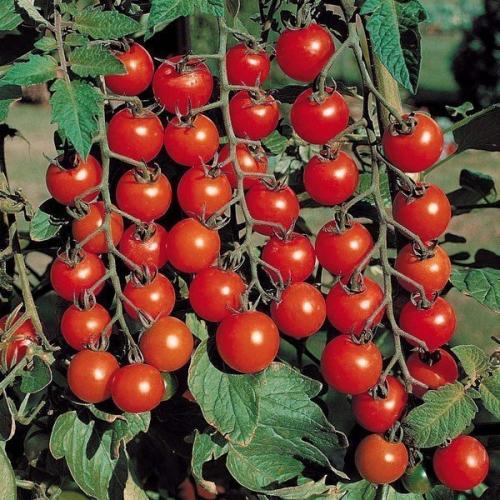 Растущие томаты