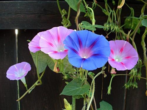 Цветки ипомеи в открытом грунте