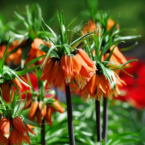 Оранжевый императорский рябчик