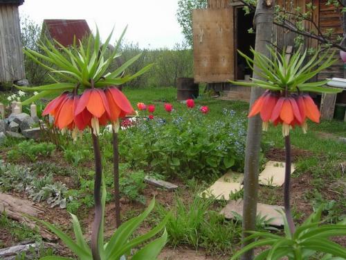 Красные цветки императорского рябчика