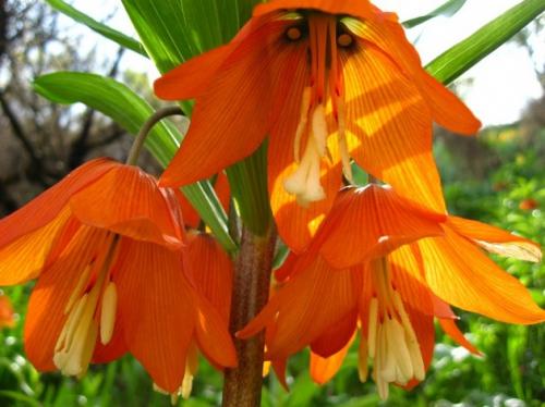 Раскрытые цветки императорского рябчика