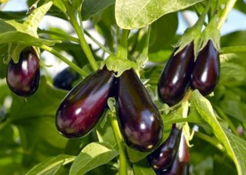 Посадка и выращивание баклажанов