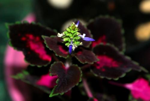 Цветок колеуса фиолетового цвета