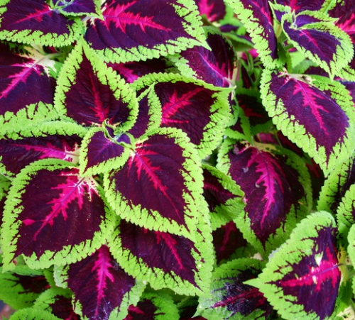 Колеус: яркая окраска листьев