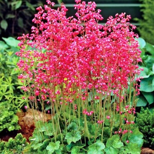 Гейхера с красными цветками