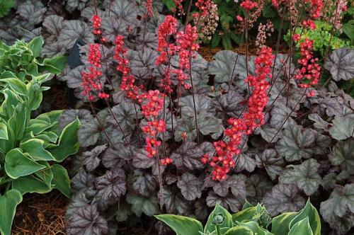 Красные цветки гейхеры