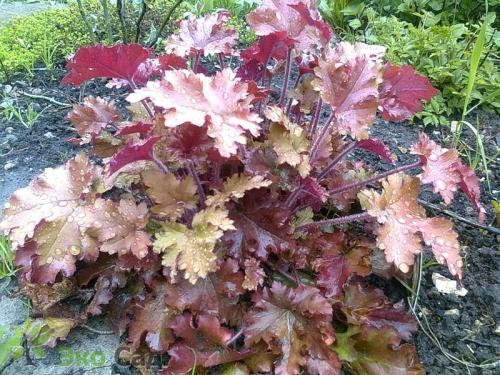Листья и цветки гейхеры