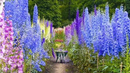 Разноцветные цветки аконита