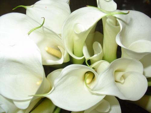 Белые каллы в грунте