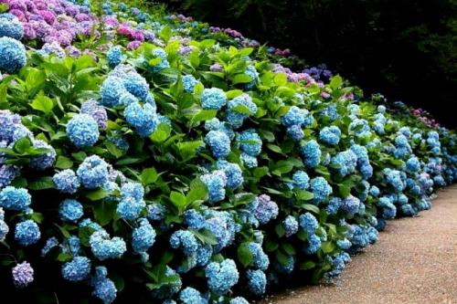 Голубые кусты гортензий в открытом грунте