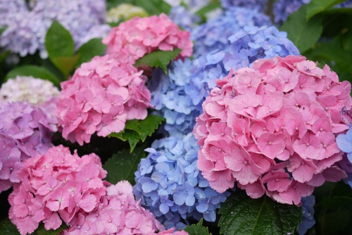 Разноцветная гортензия в саду