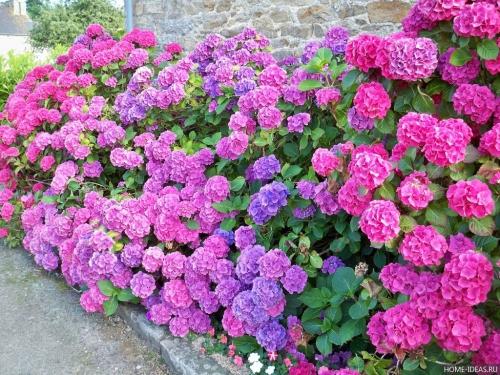 Яркие цветки гортензии в открытом грунте