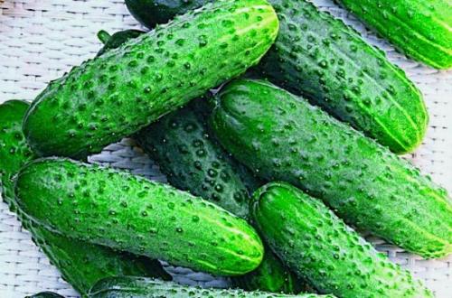 Зеленые огурцы в открытом грунте