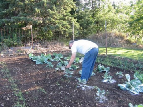 Подкормка капусты в огороде