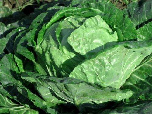 Зеленые листья капусты