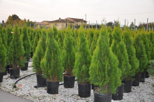 Деревья туи для пересадки