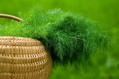 Зеленый укроп в корзине