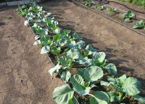 Выращивание капусты в огороде