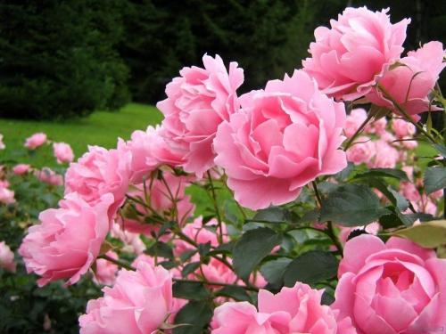 Розовые розы в открытом грунте