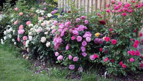 Разноцветные розы в саду