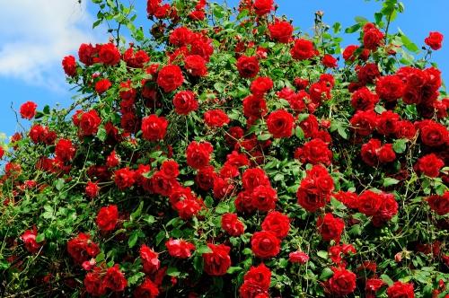 Ярко-красные розы в открытом грунте