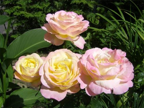 Нежно-розовые розы в саду