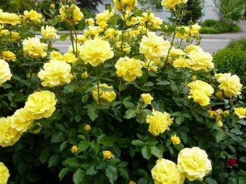 Желтые розы в открытом грунте