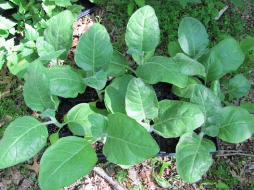 Листья табака в открытом грунте