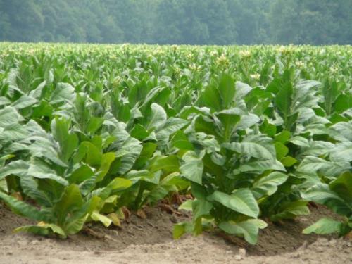 Растущий в саду табак