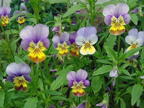 Фиолетово-желтые цветки виолы