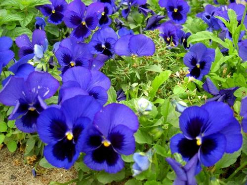 Фиолетовая виола в открытом грунте