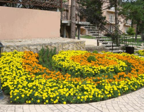Желтые и оранжевые бархатцы