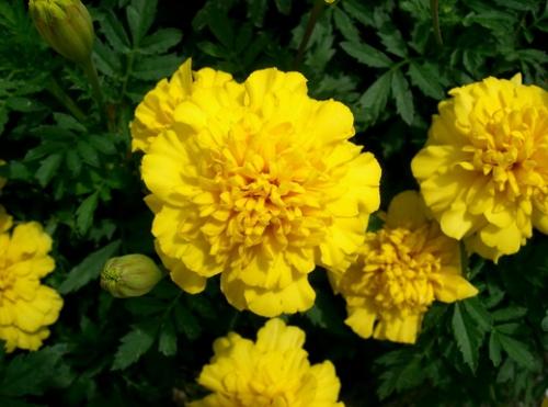 Ярко-желтые бархатцы в открытом грунте