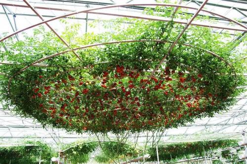 Дерево для выращивания помидоров