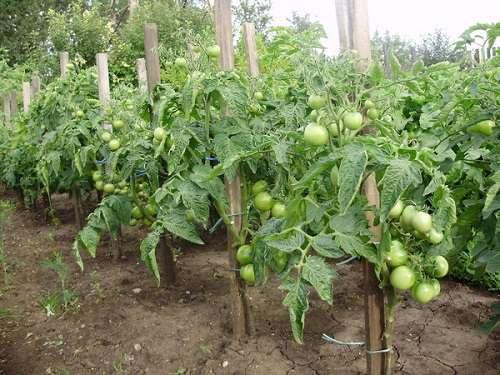Зеленые растущие помидоры