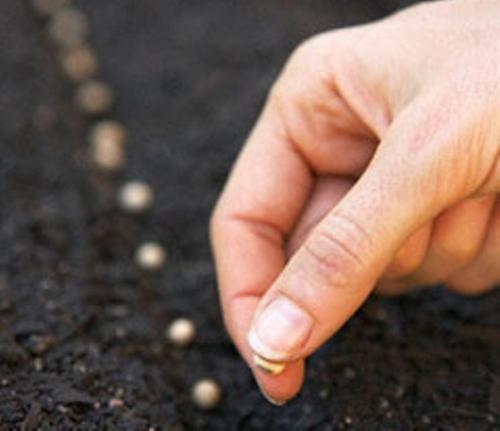 Высаживание семян в грядку