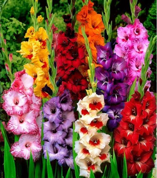 Гладиолусы разных цветов