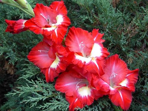 Красные гладиолусы в открытом грунте