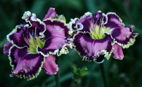 Фиолетовый лилейник