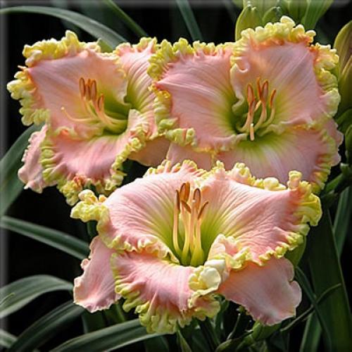 Розово-желтые цветки лилейника